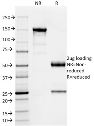 Data from SDS-PAGE analysis of Anti-SOX9 antibody (Clone PCRP-SOX9-1A2). Reducing lane (R) shows heavy and light chain fragments. NR lane shows intact antibody with expected MW of approximately 150 kDa. The data are consistent with a high purity, intact mAb.