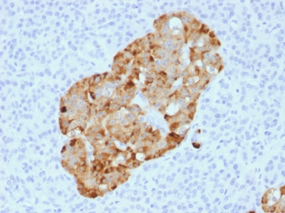 FFPE human pancreas sections stained with 100 ul anti-Chromogranin A (clone CHGA/1731R) at 1:50. HIER epitope retrieval prior to staining was performed in 10mM Citrate, pH 6.0.