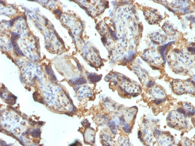 FFPE human placenta sections stained with 100 ul anti-Galectin-13 (clone PP13/1162) at 1:400. HIER epitope retrieval prior to staining was performed in 10mM Citrate, pH 6.0 or 10mM Tris 1mM EDTA, pH 9.0.