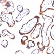 FFPE human placenta sections stained with 100 ul anti-HCG-beta (clone HCGb/54) at 1:200. HIER epitope retrieval prior to staining was performed in 10mM Citrate, pH 6.0.