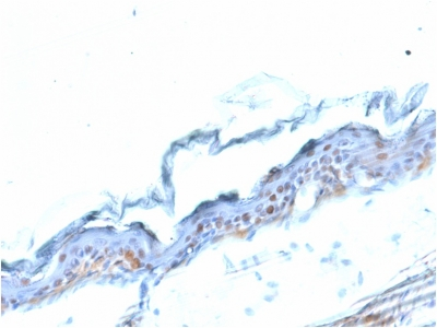 Formalin-fixed, paraffin embedded mouse stomach sections stained with 100 ul anti-SOX2 (clone SOX2/1791) at 1:50. HIER epitope retrieval prior to staining was performed in 10mM Citrate, pH 6.0.